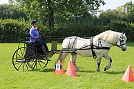 Highland Pony working in harness in Wales